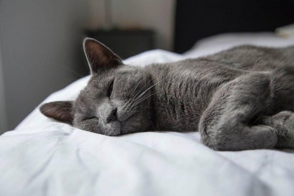brittisk korthar katt