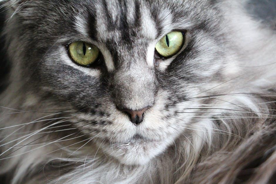 maine coon katt