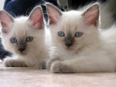rag dolls kattungar